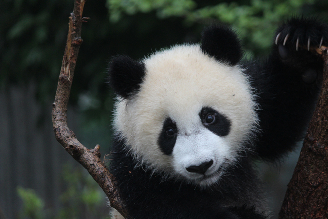 pandas, baby animals, cute animals, chengdu panda base, chengdu research base of giant panda breeding, baby panda