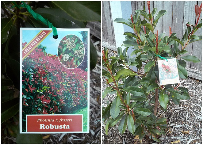 river road nursery, plant nursery, capital region farmers market, red robins, photinias, cheap plants, hardy plants, hedges,