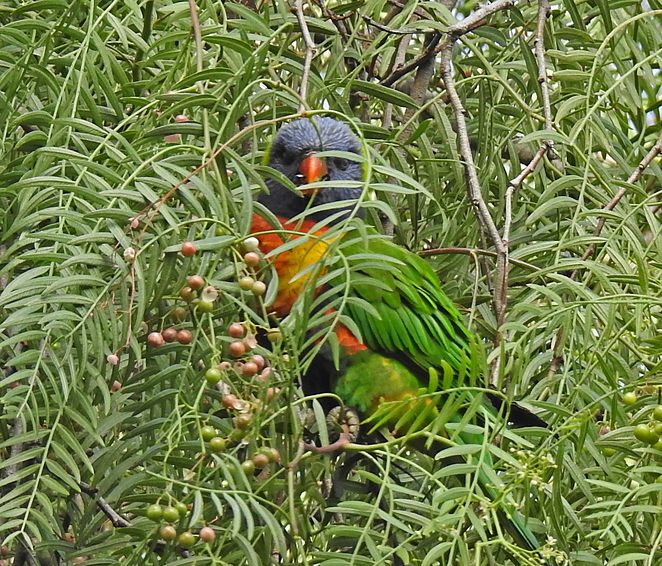South Australian wildlife, South Australian tourism, Wildlife photography Wildlife stories, North Adelaide, Golf course, parrots, pigeons