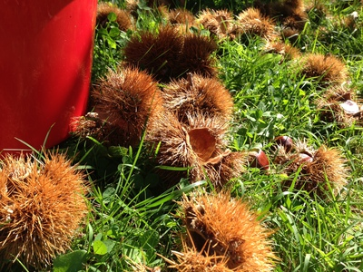 spikes, thorns, chestnuts, triplets, twins, nuts, leisure, fun, family
