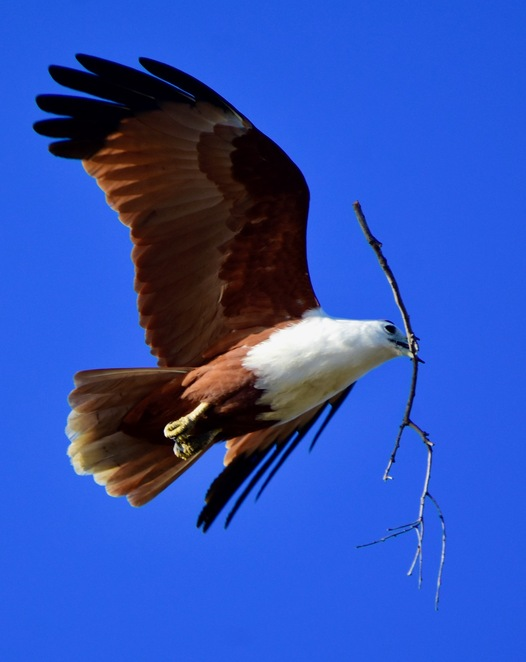 Wildlife abounds at Norfolk Beach, such as this nesting brahminy kite