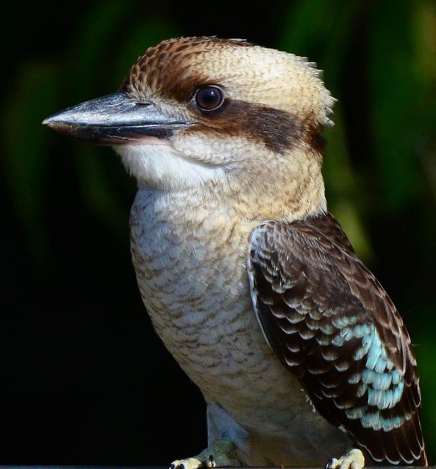 Laughing kookaburras are frequently seen at Coombabah Lakelands