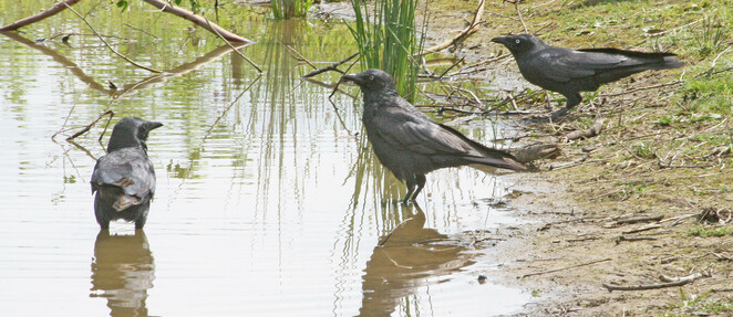 crows bathing