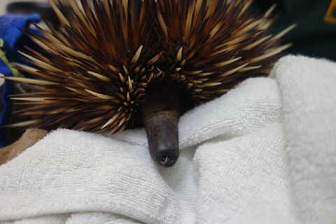 Echidna (pic Kanyana Wildlife Rehabilitation Centre)