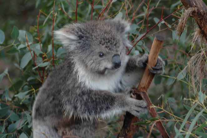 Koalas eating gum leafs