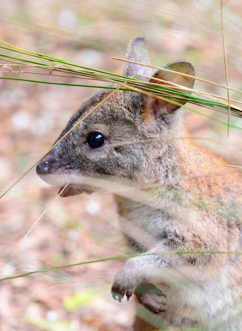 A pademelon joey out of the pouch but being a bit coy