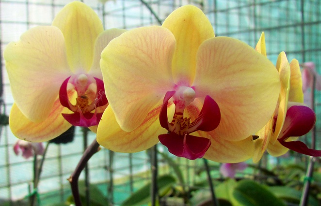 North Brisbane Orchid Society, spring show, blooms. Mt Coot-tha Botanic Gardens, flowers, plants, books, growing, advice, raffles, food, drink