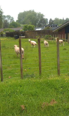 Sheep, Brook Park, Te Kuiti