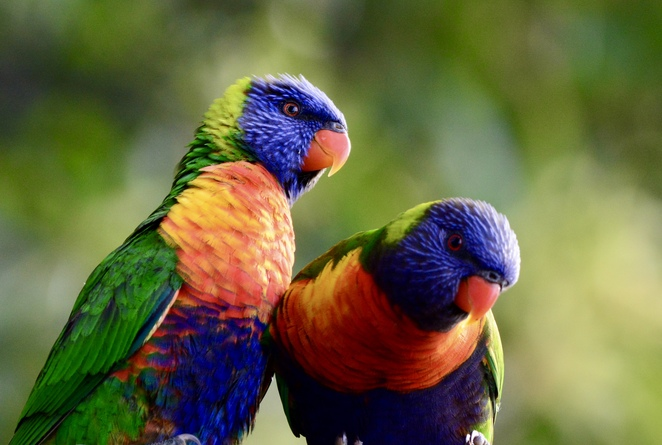 Wild rainbox lorikeets frequent the bushland surrounding the park