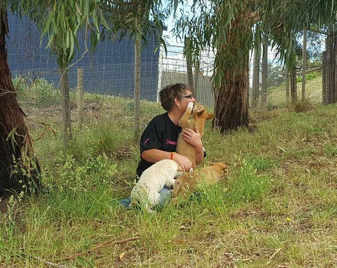 Visitors must be quiet while meeting dingo puppies so as not to unintentionally cause the adult dingoes to howl.