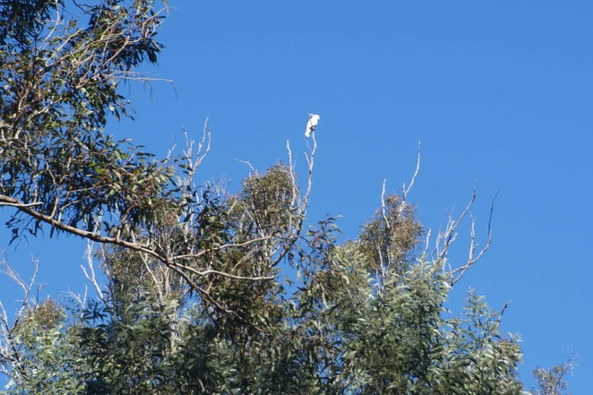 Wild cockatoo