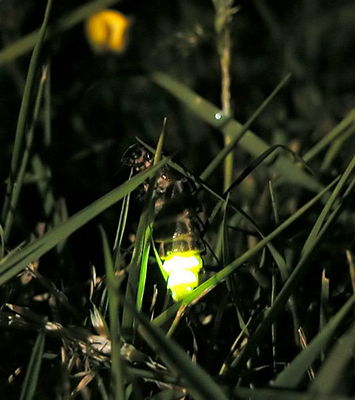 glow worms, Melba Gully