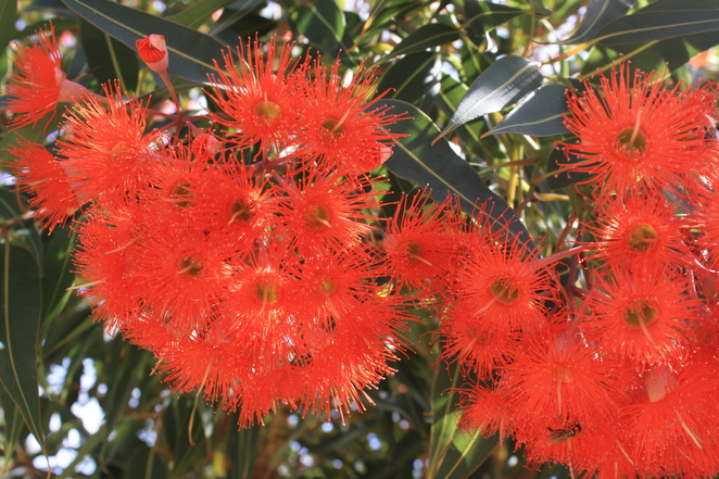 (Eucalyptus ficifolia, now reclassified as Corymbia ficifolia)