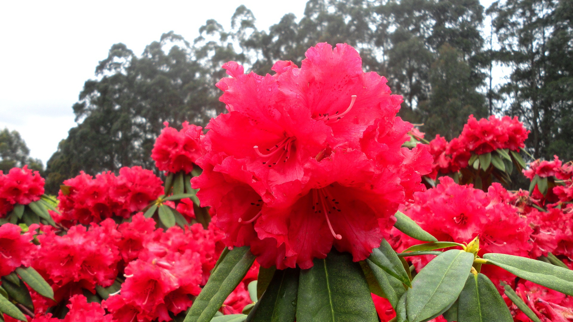 7 Reasons to Visit The National Rhododendron Garden