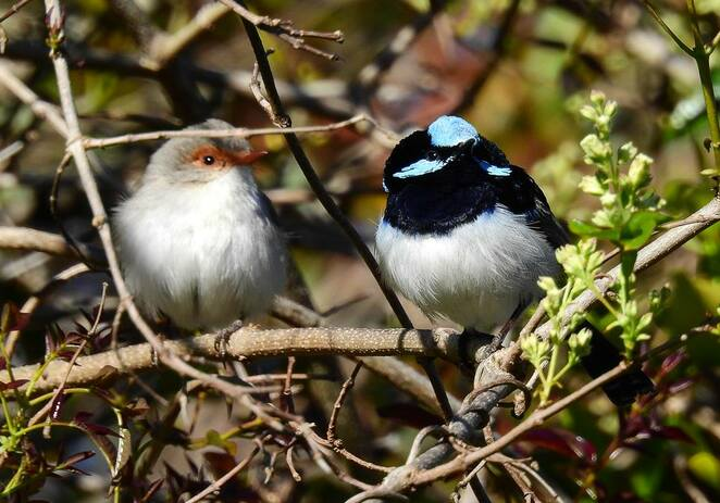 Many small birds, such as these superb fairy wrens, live within the campground and watch for insects disturbed by campers' movements