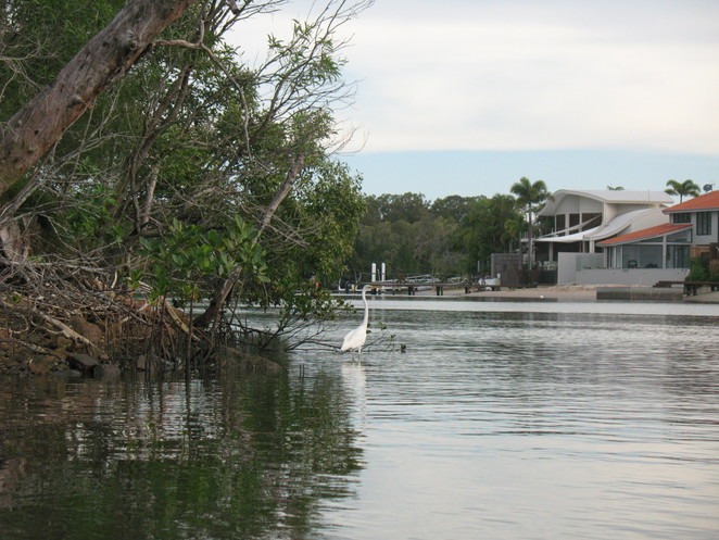 Some mangroves left at Noosa