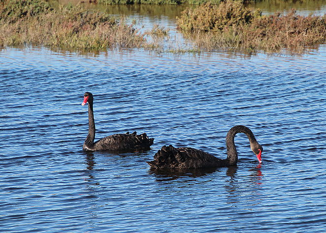 Wetlands, Barker inlet, South Australian wildlife, SA Tourism, Wildlife photography Wildlife stories, nature, swan, black swan,