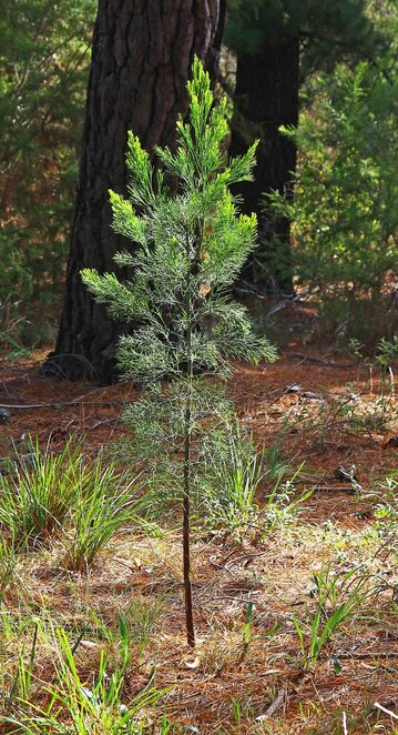 young pine tree