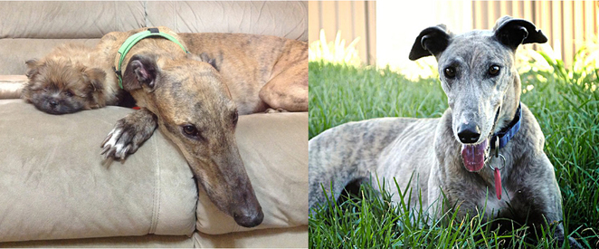 Adopted Greyhounds Relaxing