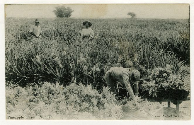How to chose and prepare a pineapple, fruit, pineapple, Brisbane pineapple industry, Nundah,