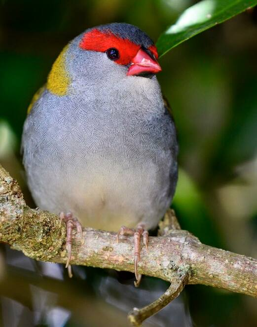 Red browed finches are present along the trail to Picnic Rock