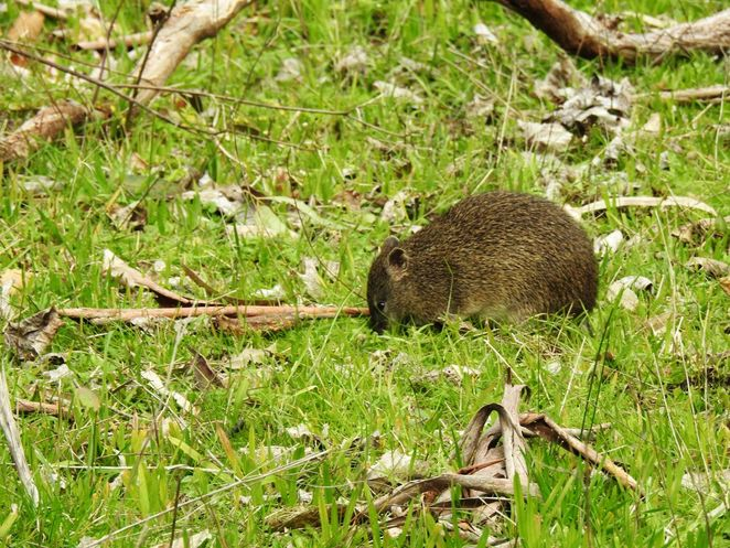 National Trust, parks, reserves, south australia, Adelaide Hills, Adelaide, hills, trail, wildflowers, southern brown bandicoot
