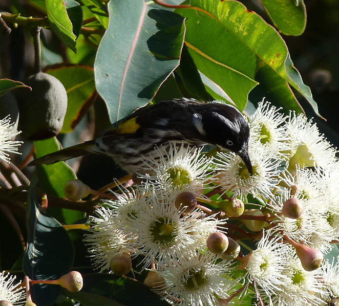 new holland honeyeater, South Australian wildlife, South Australian tourism, Wildlife photography Wildlife stories, Willunga, SA history,