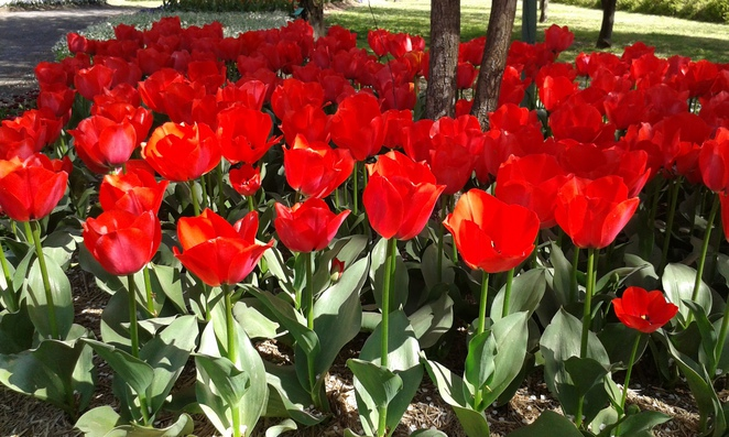 tulip top gardens, ACT family and community day, 2016, gardens, floriade, sutton, NSW,