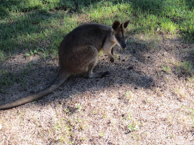 wallaby, native animals