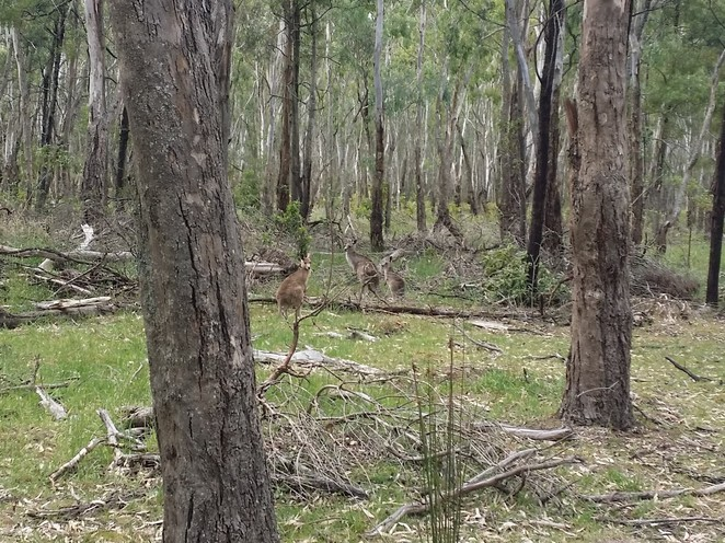 wildlife, animals, Melbourne, walks, parks, nature, australian native animals, bushland, urban ecology
