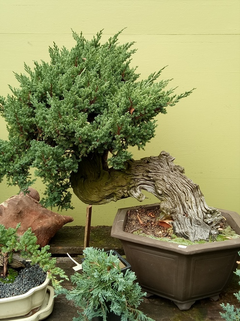 Bonsai, bonsai farm, plant nursery, bonsai grower, hawthorn, Japanese garden