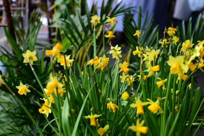 daffodils, spring flowers, spring blossoms, jade jackson photography