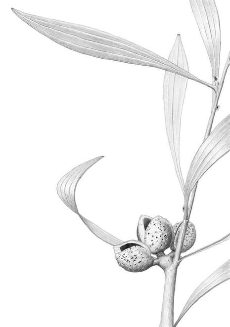 Hakea seed pods andrew carr reFraming Nature, Botanic Art, Exhibition, melbourne, 2017
