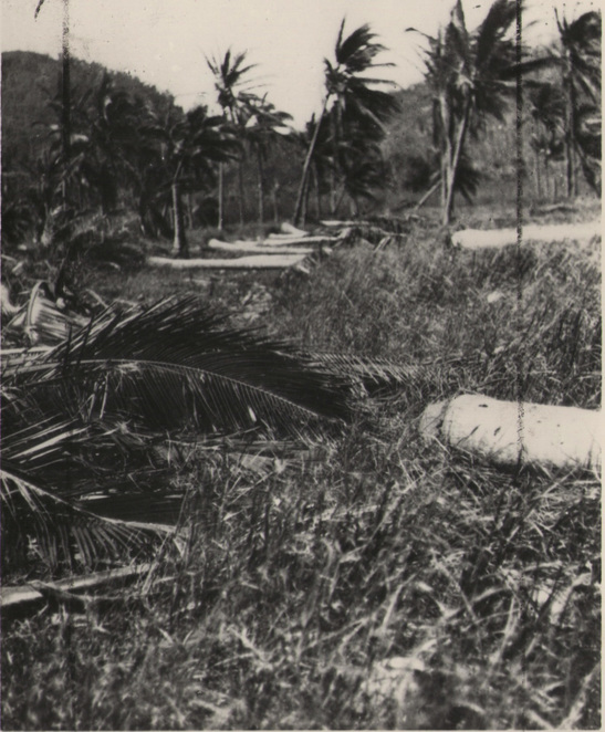 Palm trees flattened in cyclone