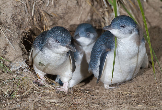 penguins, phillip island, melbourne, wildlife, native birds, australia