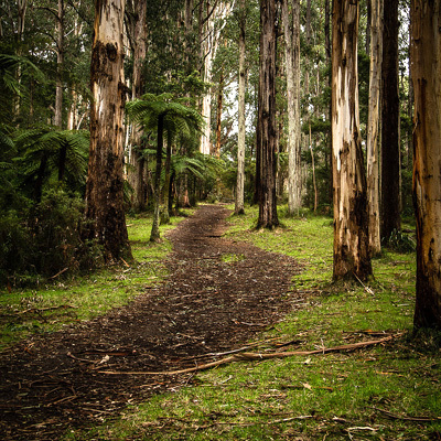 The Dandenongs, Sherbrooke Forest, Melbourne Day Trips, walking tracks in melbourne