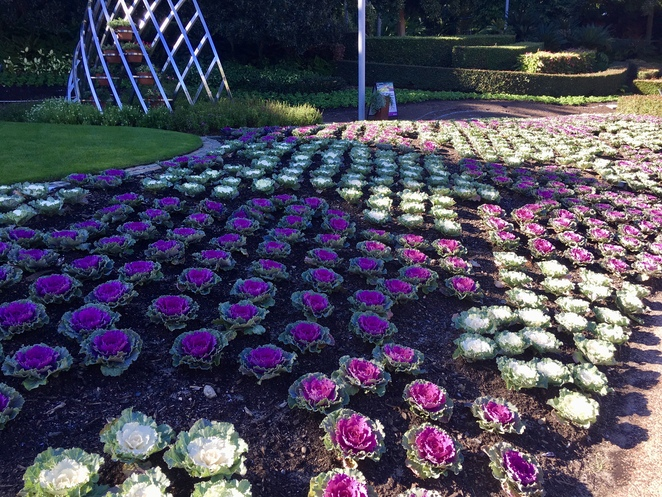 The ornamental cabbages
