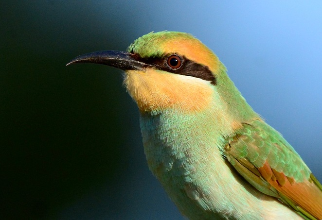 Rainbow bee eater at Mount Cotton Community Park