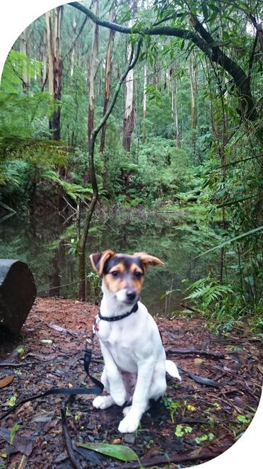 dog, friendly, walking, tracks, melbourne, dandenong, ranges