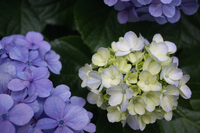 Hydrangeas, the Flower of summer – photo Jenny Esots