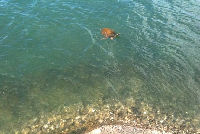 Marine turtles and other wildlife are often seen in the water around this pontoon