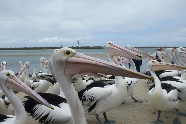 Pelican Feeding on Gold Coast, Labrador, family things to do,