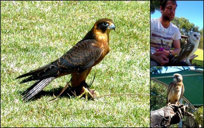 raptor domain, kangaroo island, seal bay attractions, birds of prey display, native australian wildlife