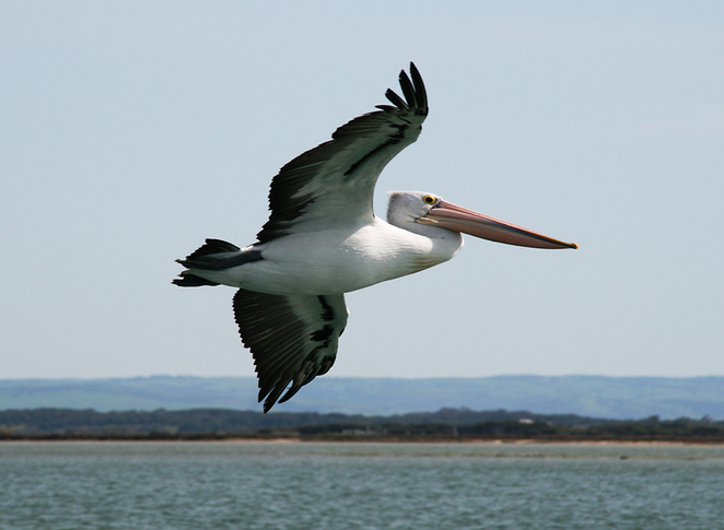 South Australian wildlife, wildlife photography, South Australian tourism, Adelaide tourism, Adelaide wildlife, South Australia nature, Murray Mouth, Goolwa, pelican