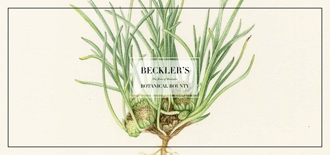becklers botanical bounty, the flora of menindie, art gallery of ballarat, art exhibition, community event, fun things to do, artists, art lovers, botanical artists, botanical specimens, dr hermann beckler, national herbarium of victoria, botanical gardenss melbourne, burke and wills expedition, vee supply party, darling river, contemporary artworks, expression of art, science, history