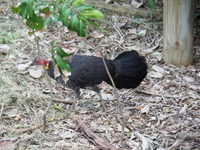 Bush turkey, Osprey House, environment, learning