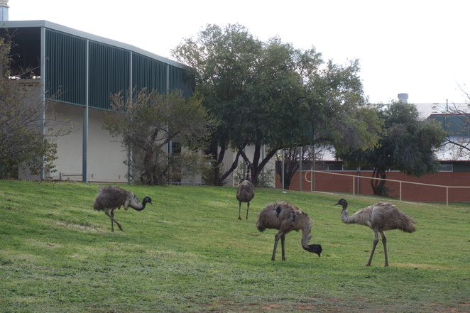 emu,emus,bird,birds,australian,grass,school,beak,feathers,drought