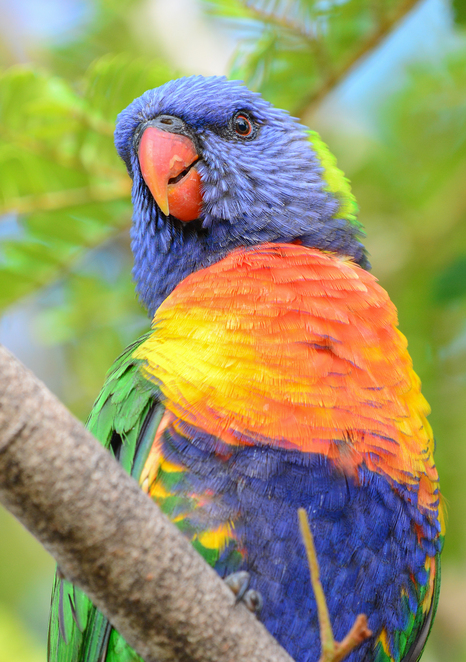 Wild parrots are attracted to the bushland around Highgrove Street Park