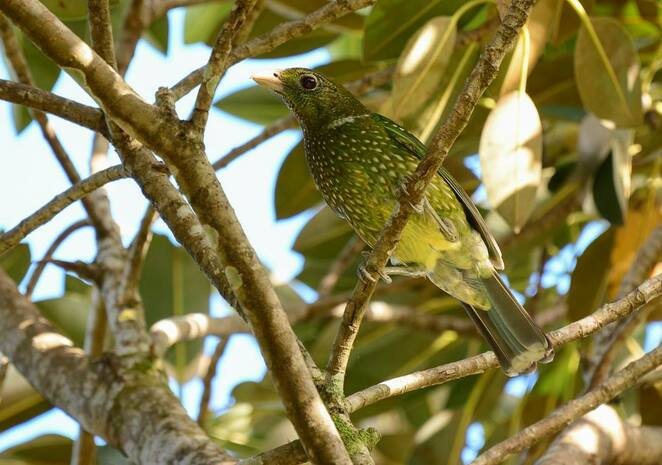 A green cat bird in the fig tree at Maiala Day Use Area