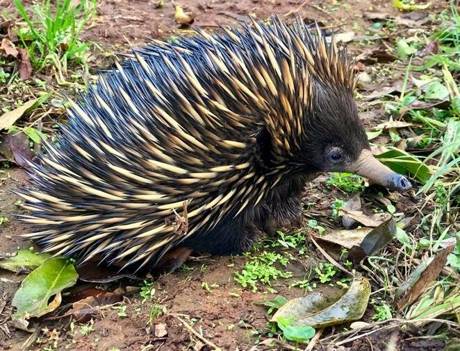 A gorgeous echidna at Mary Cairncross Scenic Reserve